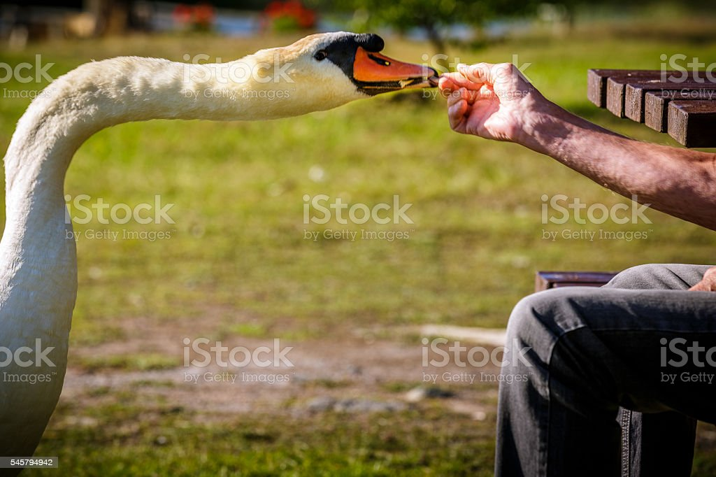 Old man and swan stock photo