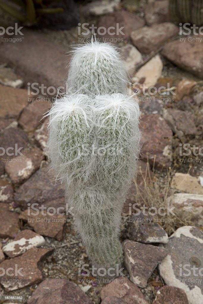 Old Man Cactus royalty-free stock photo