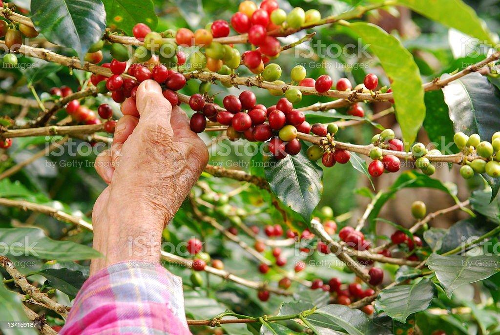 Old Man Picking Coffee royalty-free stock photo