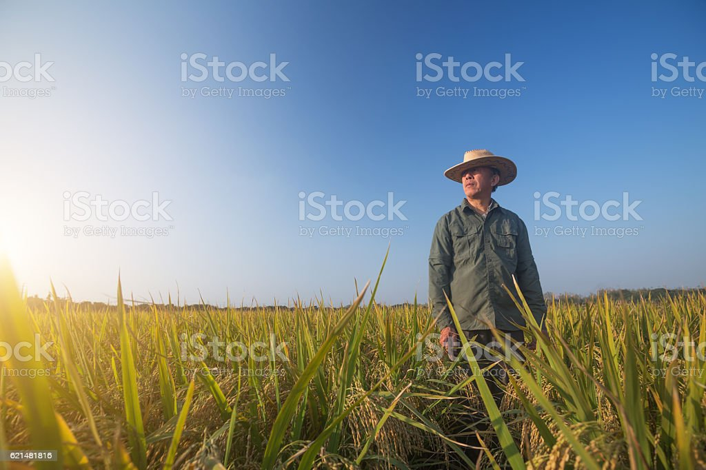 old man standing in the ripe rice in autumn stock photo