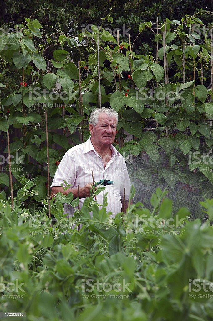 old man watering vegetables stock photo