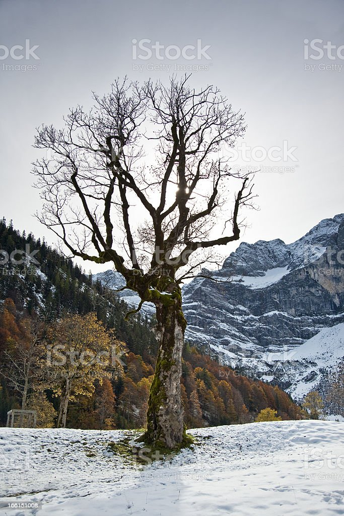Old maple tree in autumn royalty-free stock photo