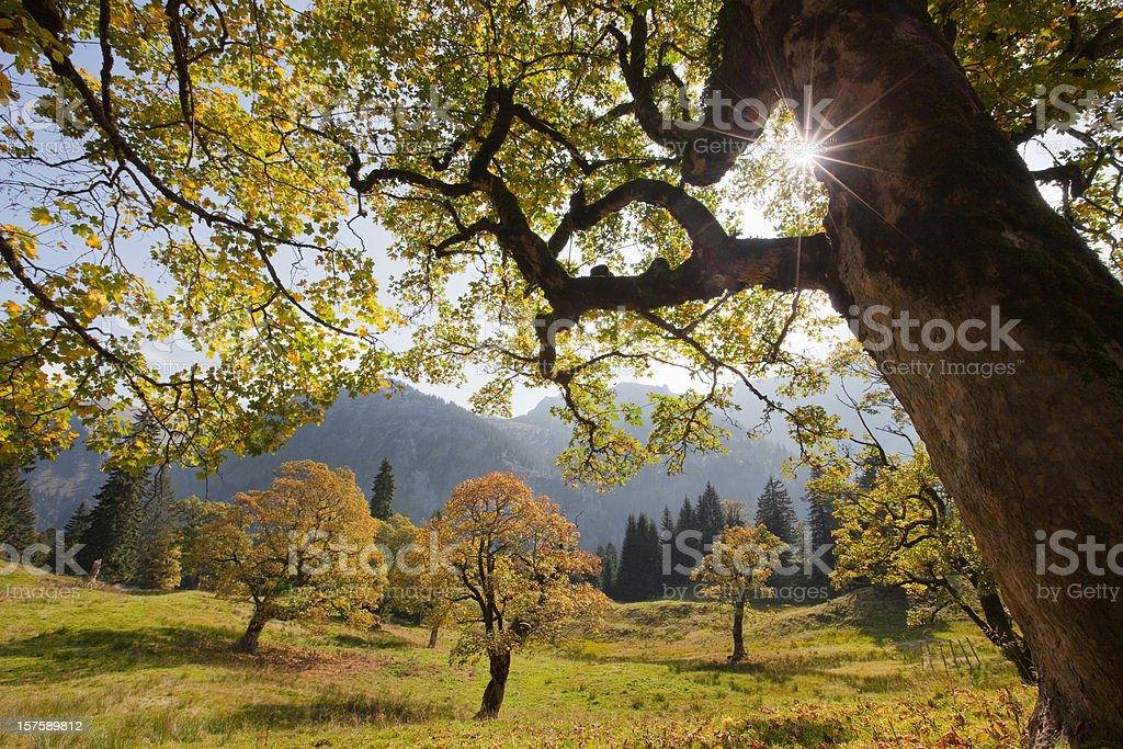 old maple tree in hinterseiner valley allgäu, bavaria stock photo