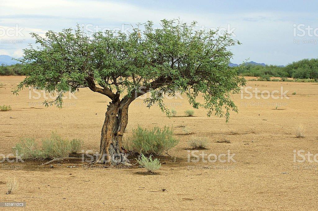 Old mesquite tree stock photo