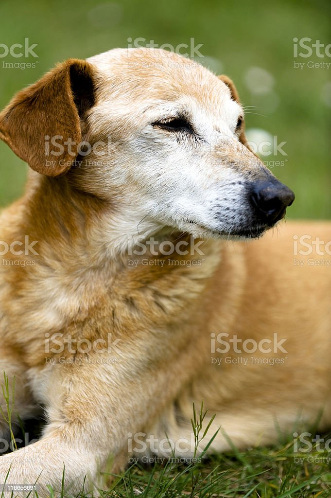 Old Mixed-Breed Dog Portrait. Color Image royalty-free stock photo