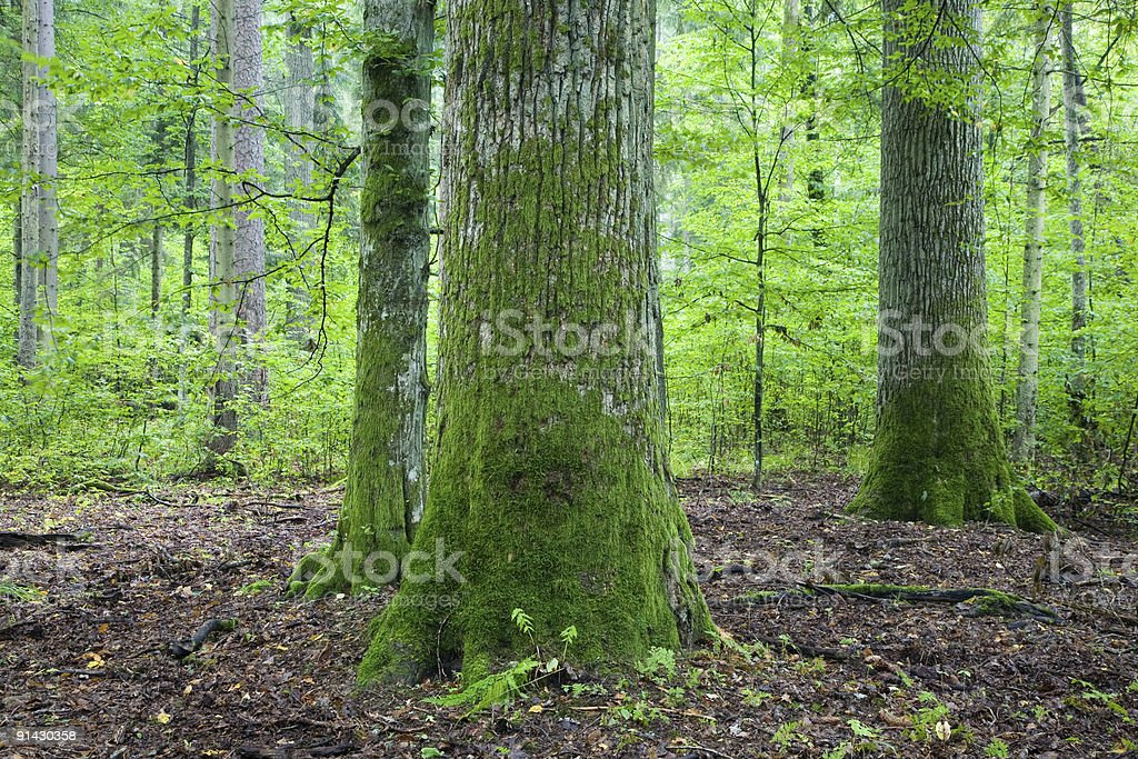 Old moss wrapped oak in natural foest royalty-free stock photo