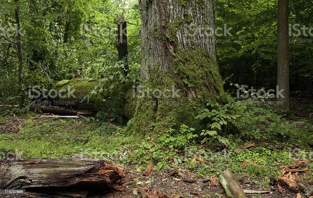 Old moss wrapped oak tree royalty-free stock photo