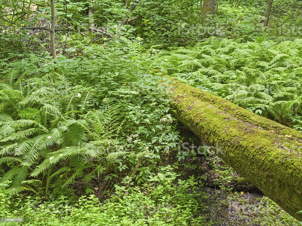 Old moss-grown fallen tree trunk lies against fern growth background royalty-free stock photo