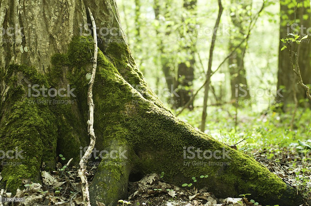 Old mossy trunk royalty-free stock photo