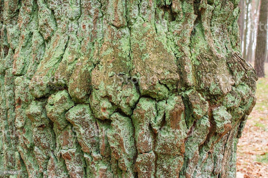 Old mosy tree bark stock photo