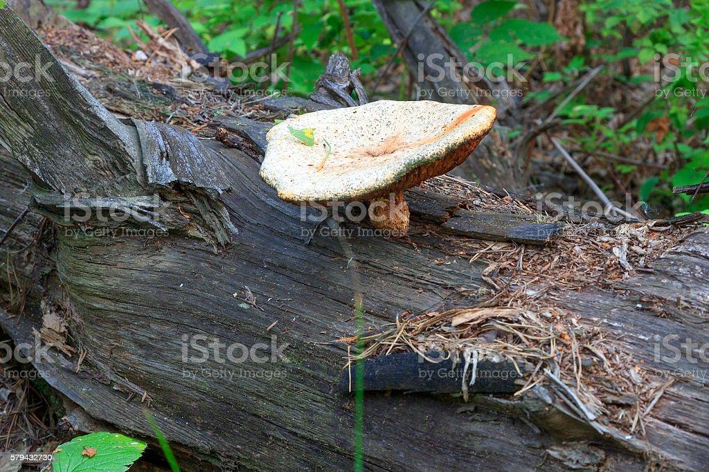 Old mushroom stock photo