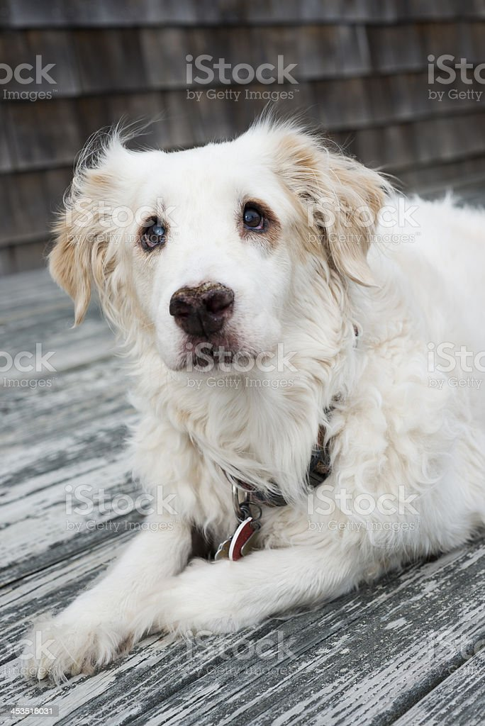 Old Nearly Blind Pet Dog royalty-free stock photo