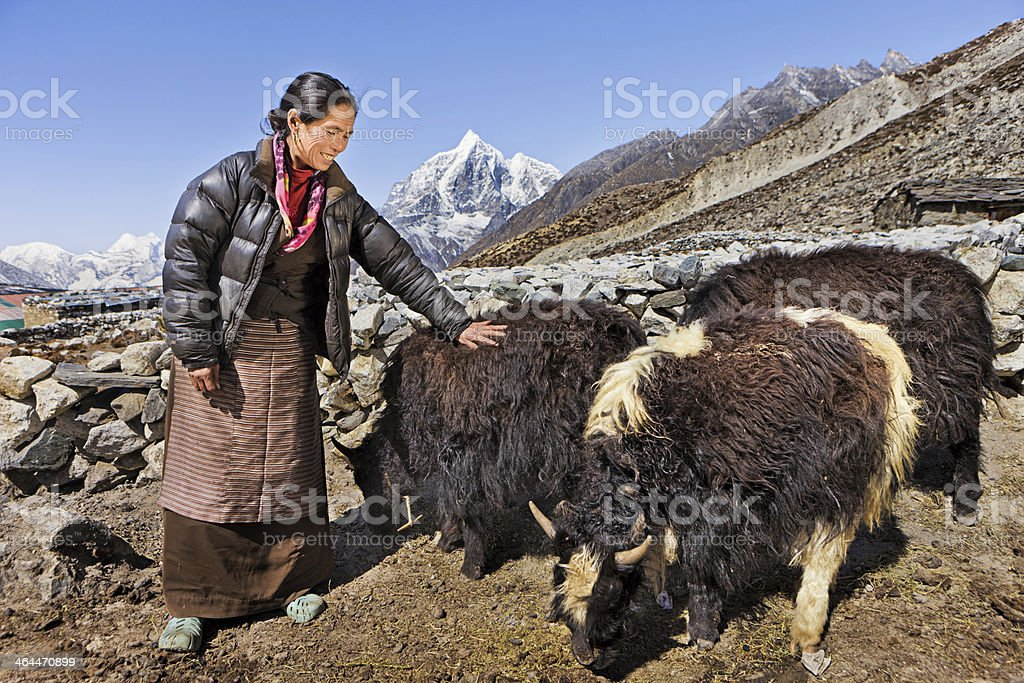 Old Nepali woman hearding yaks stock photo