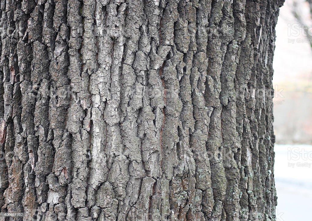 Old oak bark stock photo