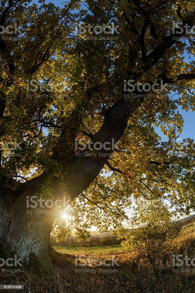 old oak before sunset stock photo