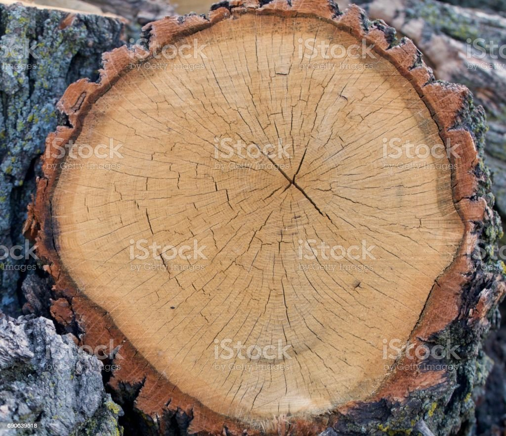 Old Oak Cross Section stock photo