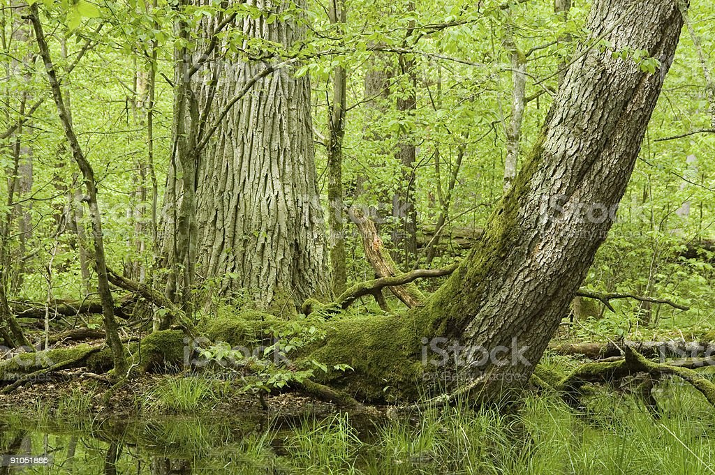 Old oak, curved spruce and water royalty-free stock photo