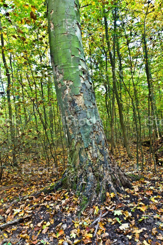 old oak forest stock photo