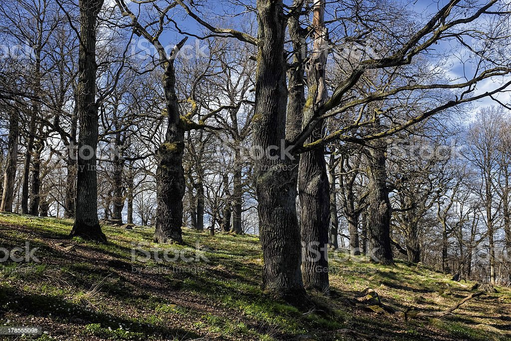 Old oak grove at springtime in Sweden royalty-free stock photo