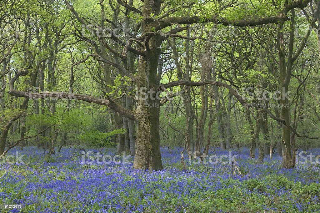 Old oak in bluebells royalty-free stock photo