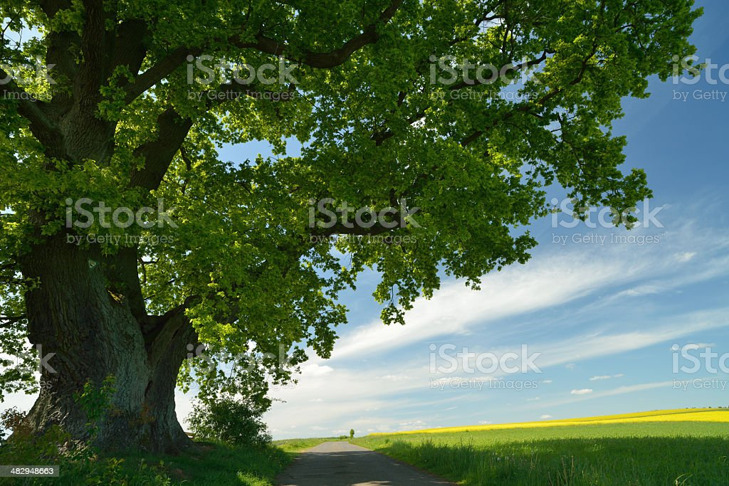 old oak in spring stock photo