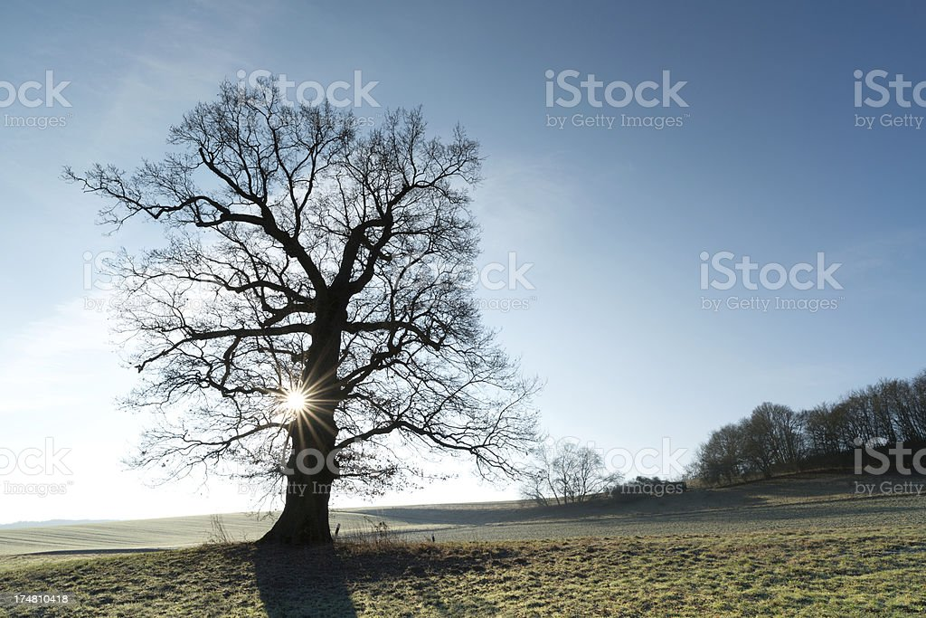 old oak in the winter sun royalty-free stock photo