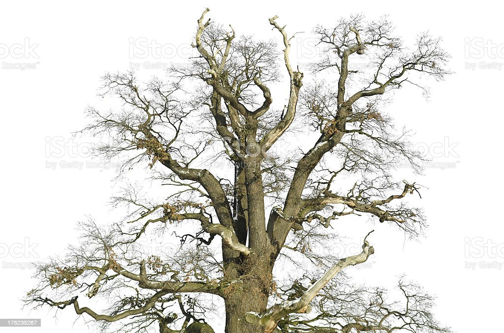 old oak in winter - isolated on white royalty-free stock photo