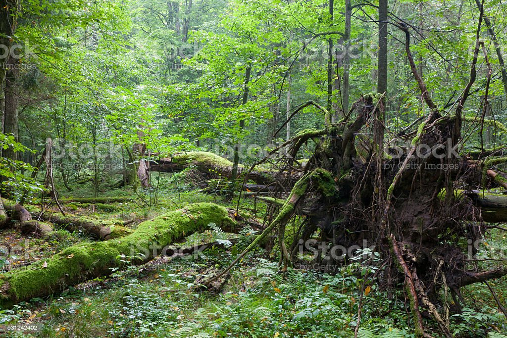 Old oak lying with root visible stock photo