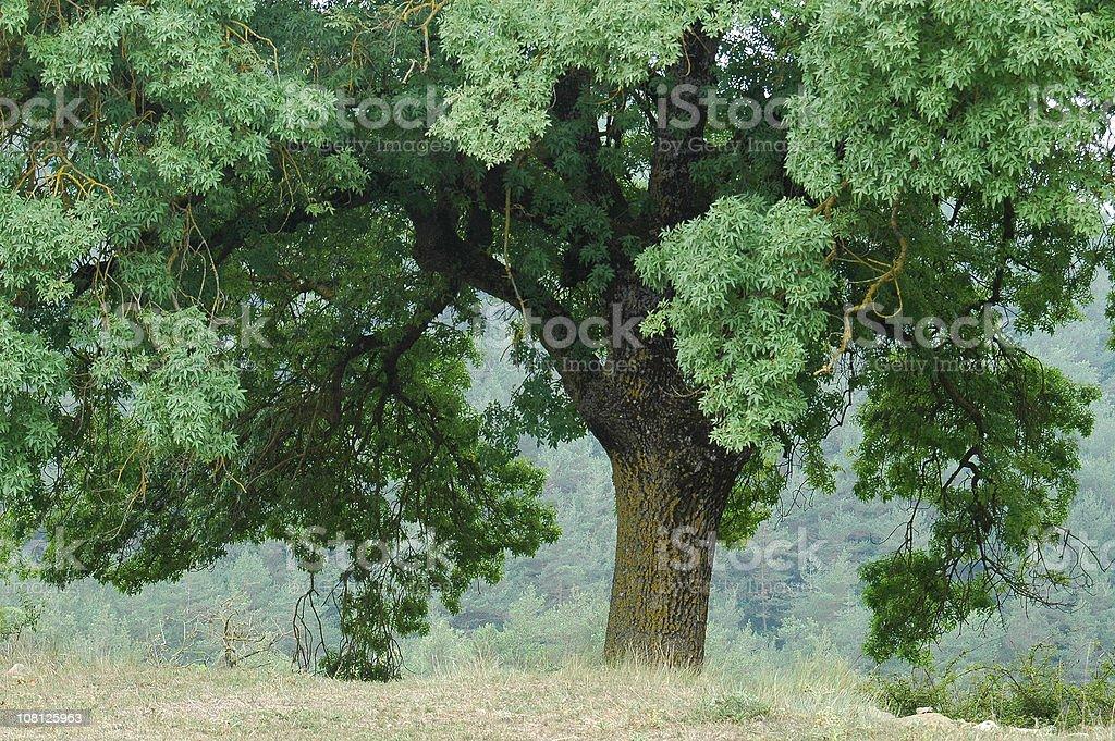 Old oak royalty-free stock photo