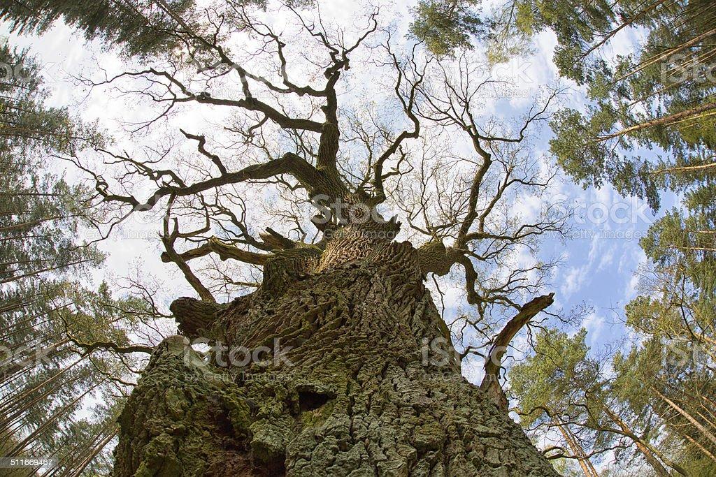 Old oak tree and tree tops stock photo