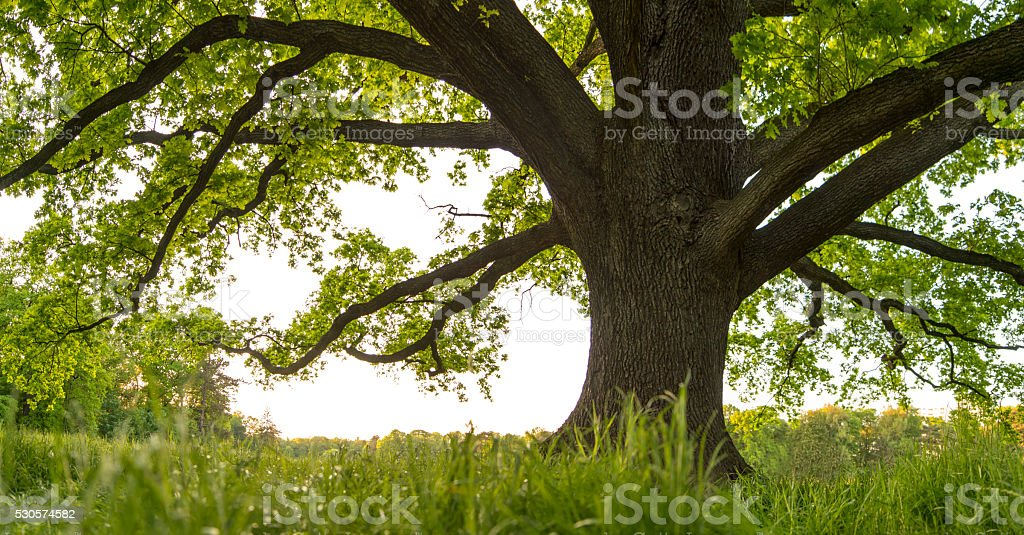 Old Oak tree canopy in spring from frog's-eye grass perspective. stock photo