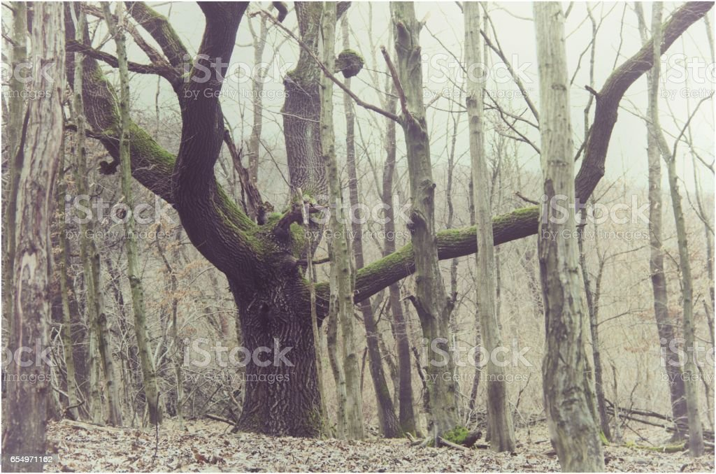 old oak tree in nature stock photo