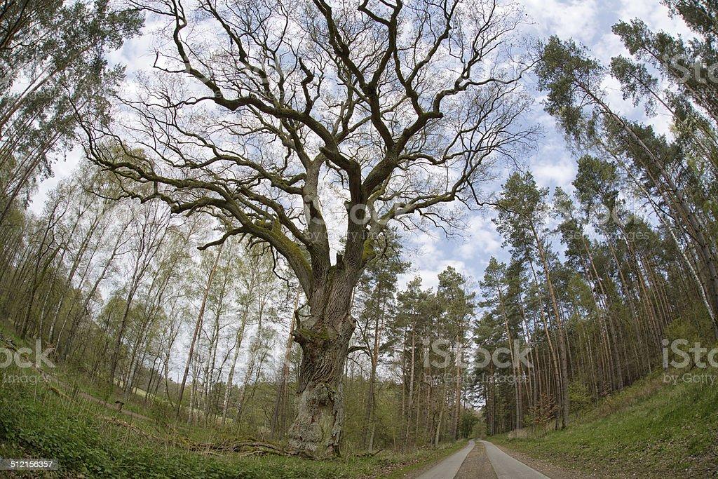 Old oak tree, Müritz Nationalpark, Germany stock photo