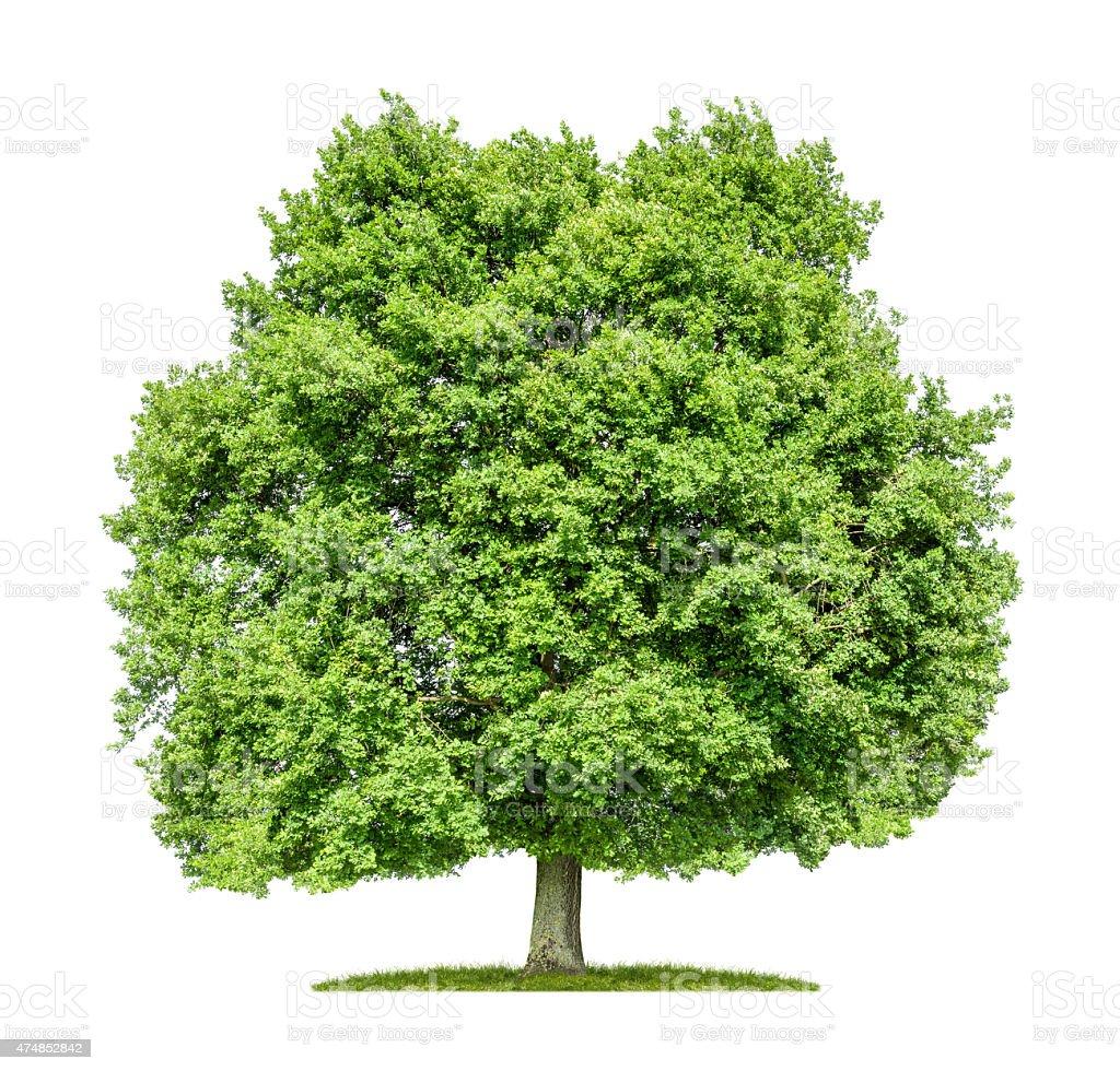 Old oak tree on a white background stock photo