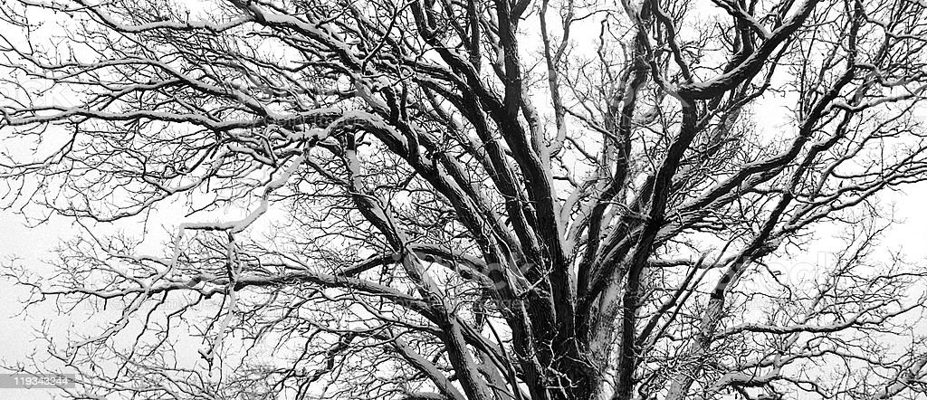 Old oak tree royalty-free stock photo