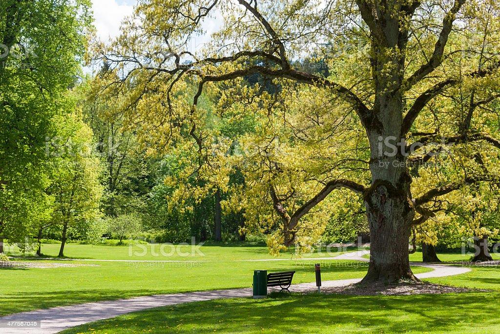 Old Oak Tree stock photo