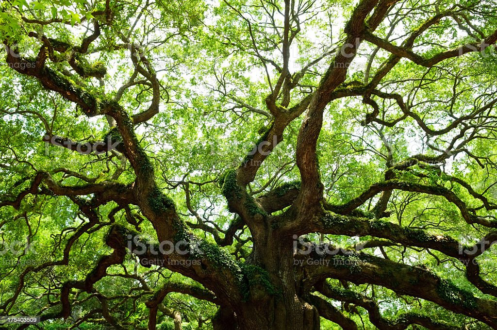 Old Oak Tree with expansive branches stock photo