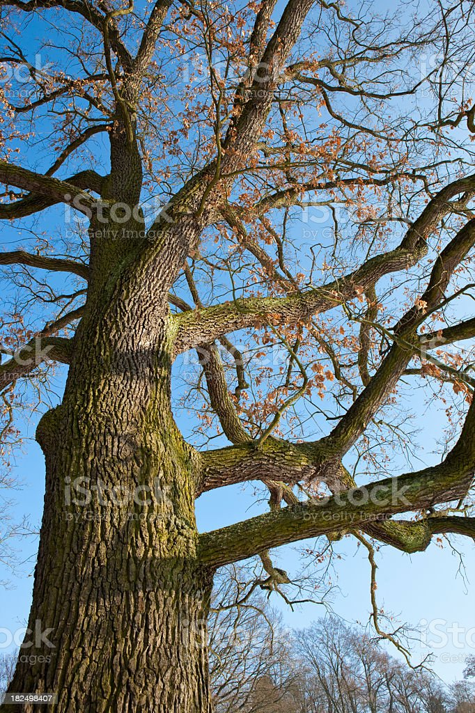 Old oak tree without foliage in winter stock photo