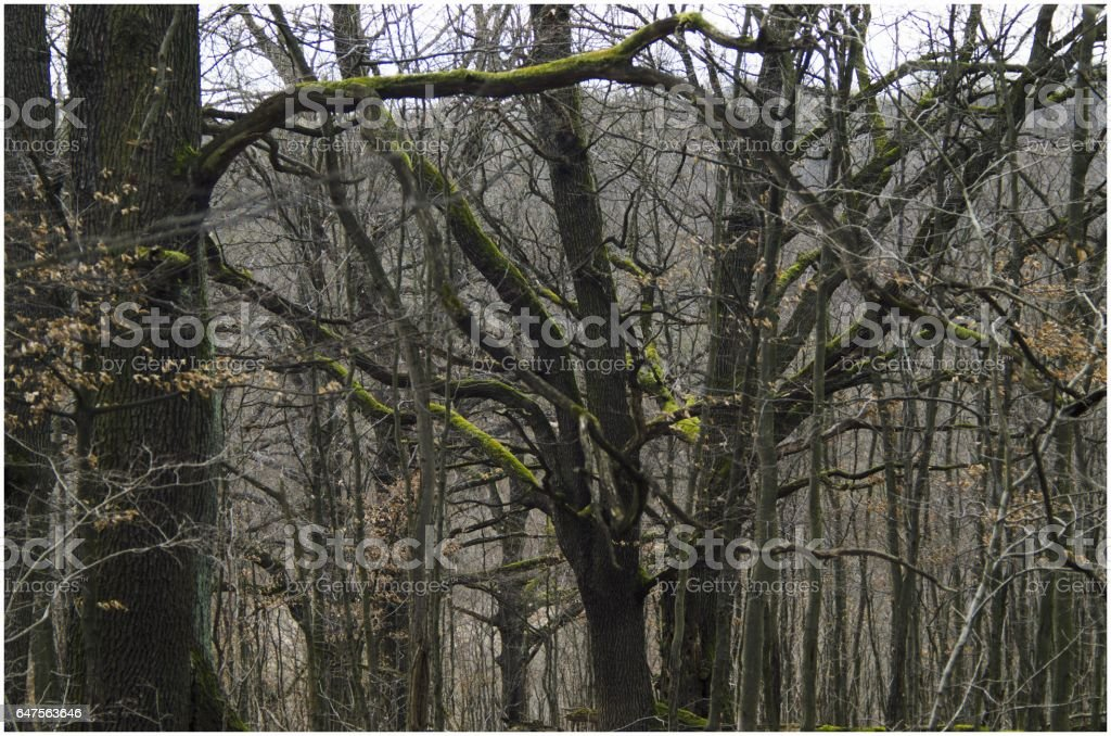 Old Oak trees in nature stock photo