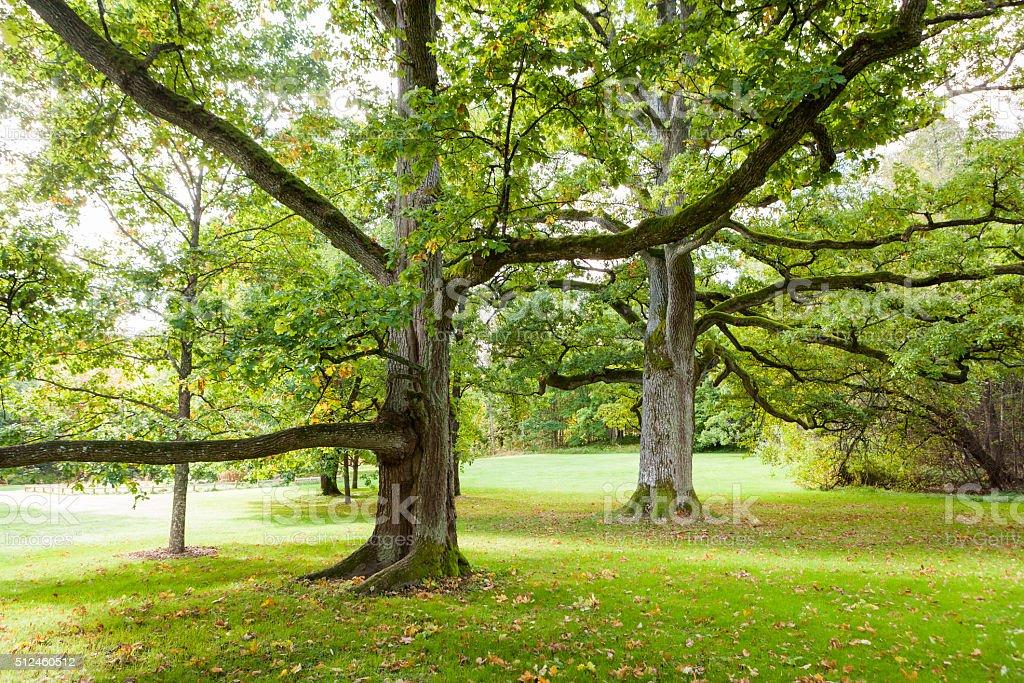 Old Oak Trees stock photo