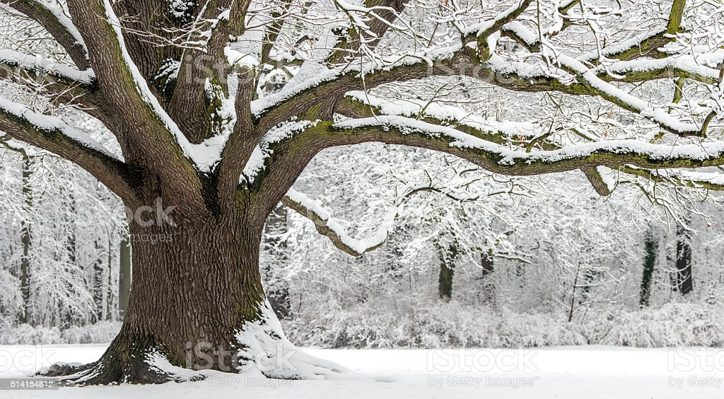 Old Oak with strong branches in winter covered with snow. stock photo
