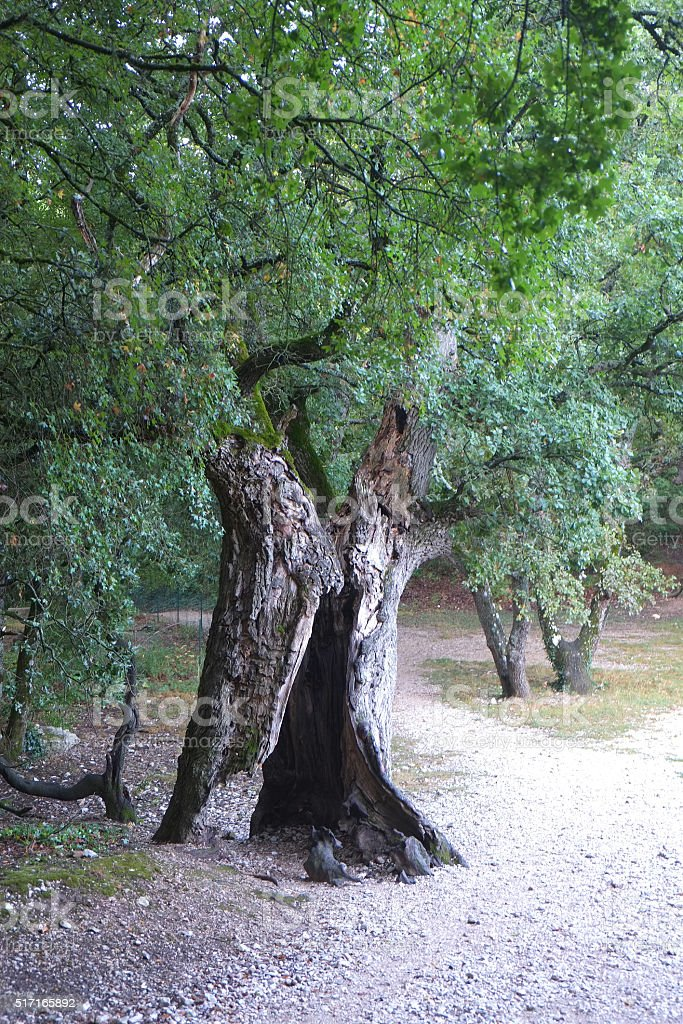 Old olive tree at Notre-Dame de Sénanque - Luberon stock photo