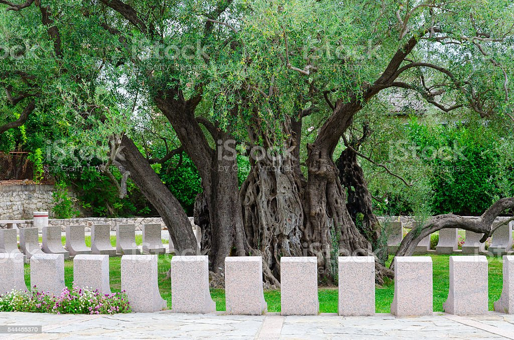 Old olive tree in Mirovice district, town of Bar, Montenegro stock photo