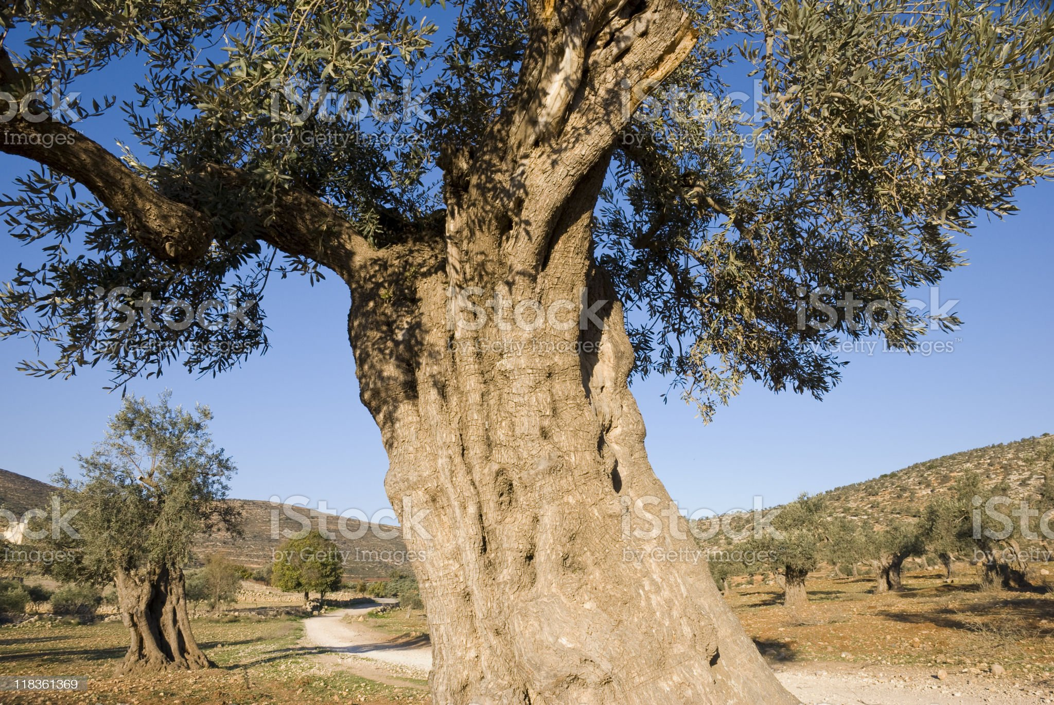 Old Olive Tree in Palestine royalty-free stock photo