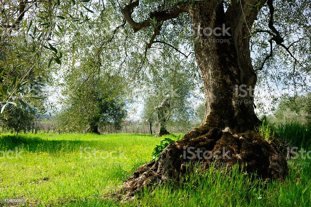 Old Olive Tree royalty-free stock photo