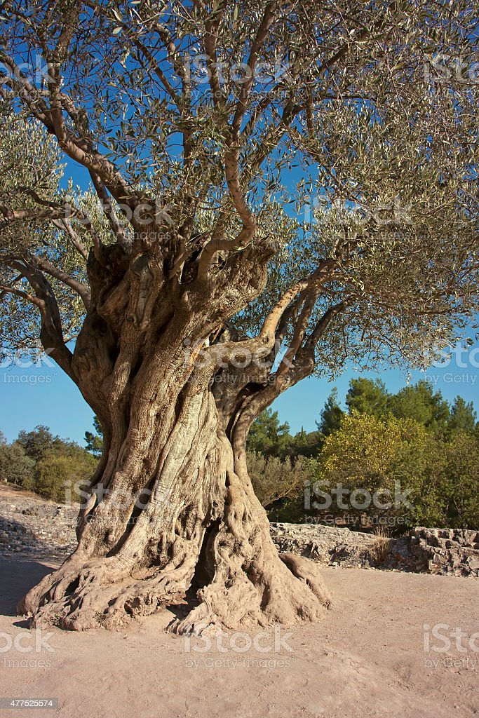 Old olive tree stock photo