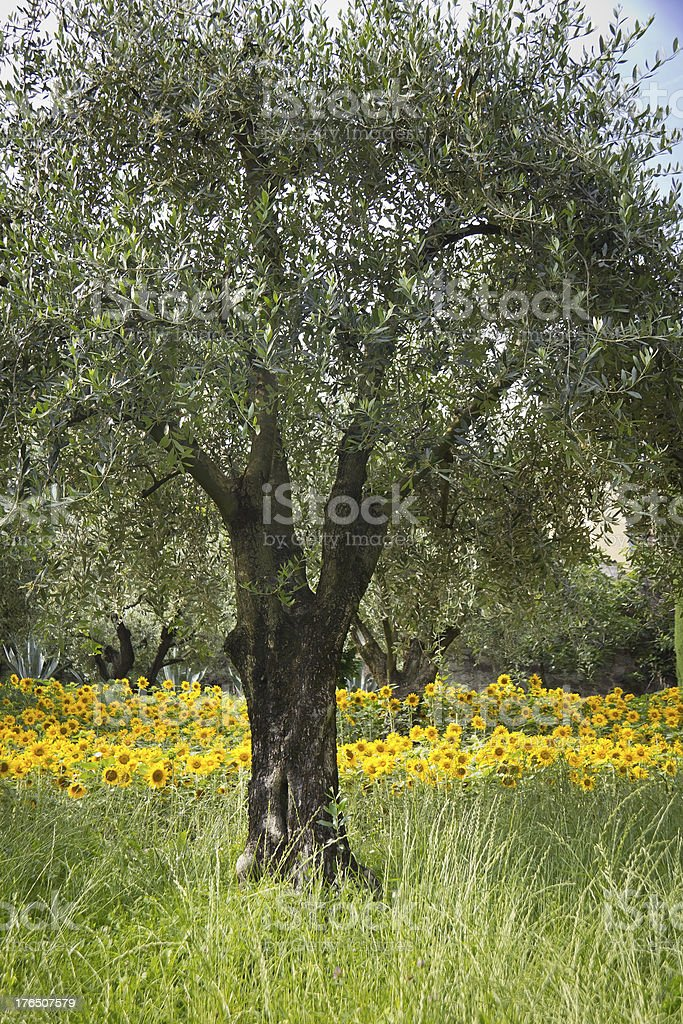 Old Olive Tree with Sunflowers royalty-free stock photo