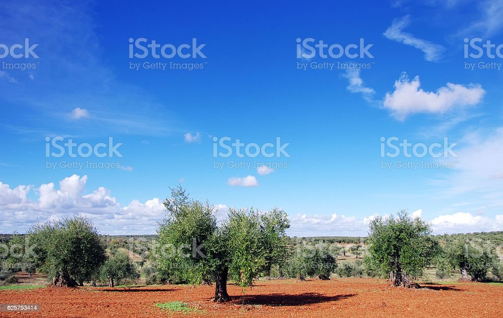 old olive trees at south of Portugal stock photo