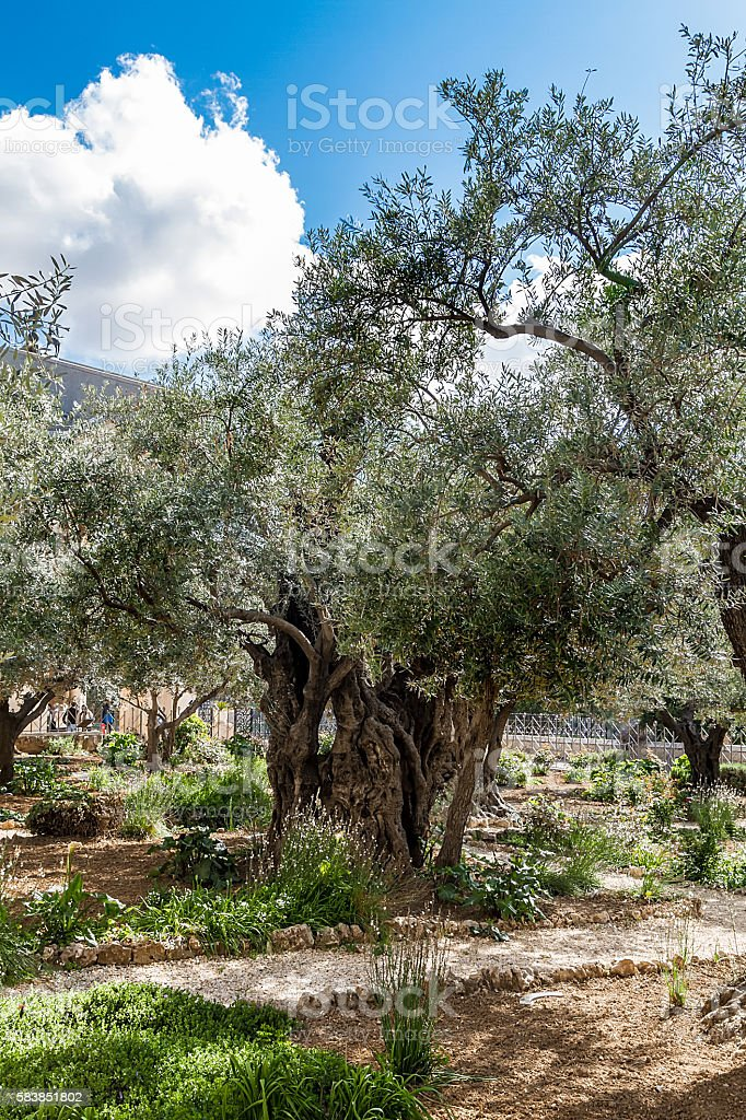 Old olive trees in the garden of Gethsemane stock photo