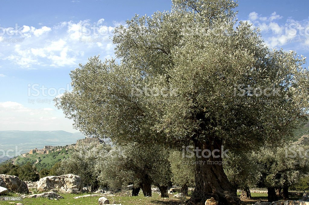 Old Olive Trees royalty-free stock photo
